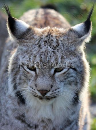retrato gato europa parque de vida