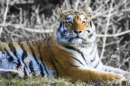 gato tigre predador jardim zoologico animais