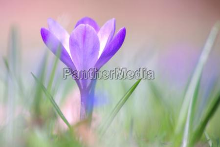 ambiente planta flor flores primavera acafrao