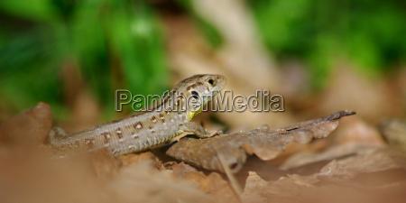 ambiente lagarto animais selvagens natureza