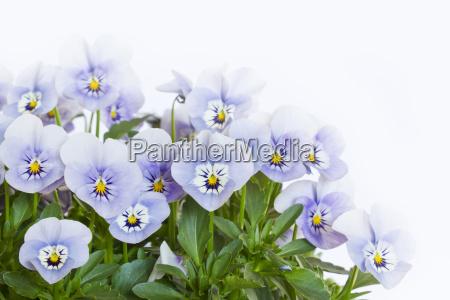 diversas violetas do chifre cornuta da