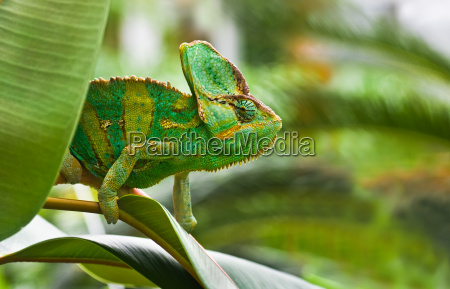 reptil lagarto repteis camaleao chameleons jemenchameleon