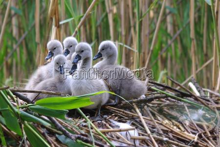 ambiente passaro animais cisnes passaros natureza