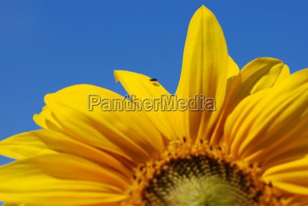 azul flor girassol planta voar luz
