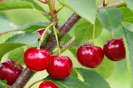 arvore ramo cereja azedo