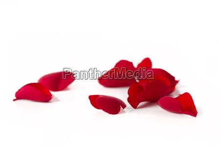 caucasiano rosas dia das maes folhas