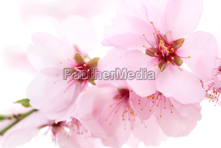 delicate cherry blossoms in close up