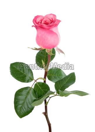 rose adoravel em rosa no branco