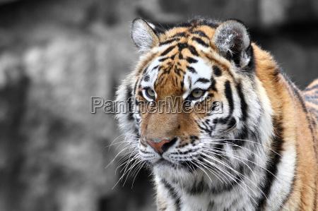 panthera, tigris, -, o, tigre - 8745136