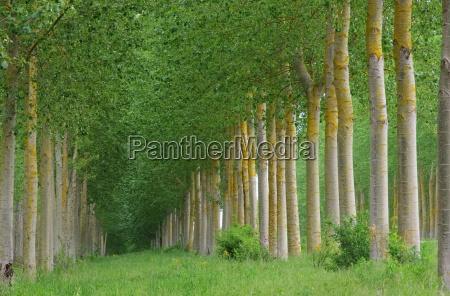poplar forest populus floresta 10
