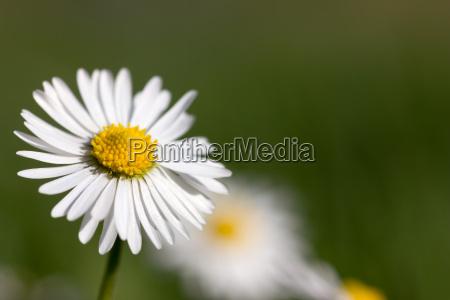 daisy blossom macro em verde
