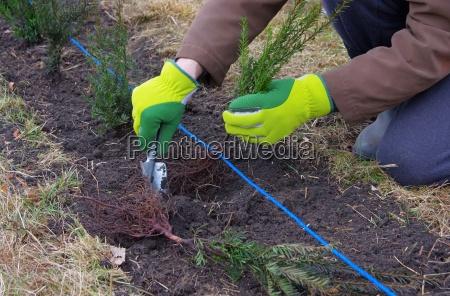 heak plant yew plantando um taxhedge