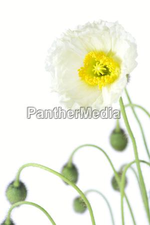 flor planta papoula palido