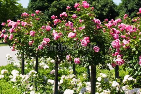 vara de rosa com rosas cor