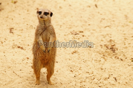 meerkat ereto