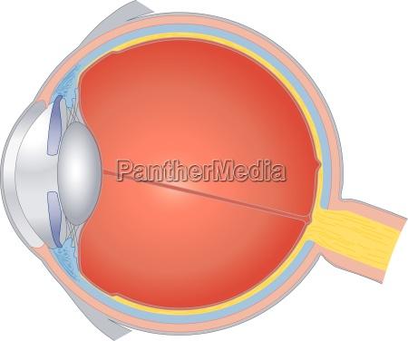 olho orgao aluno lente retina estrutura
