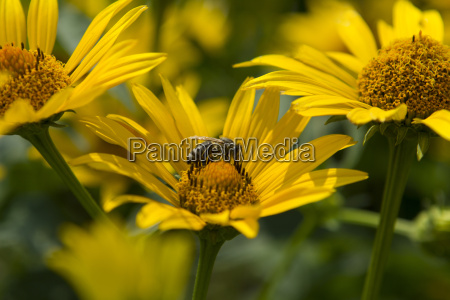 abelha, em, arnica, montana - 9605666