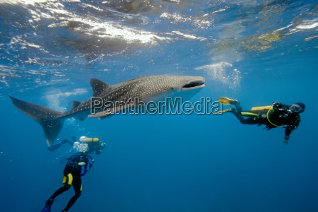 maldivas tubarao wals mergulho baleia mergulhador