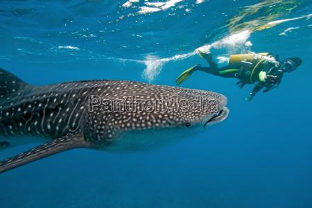 peixe camera fotografo tubarao wals mergulho
