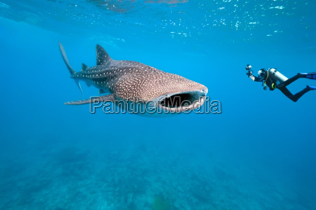 azul maldivas tubarao wals mergulho baleia