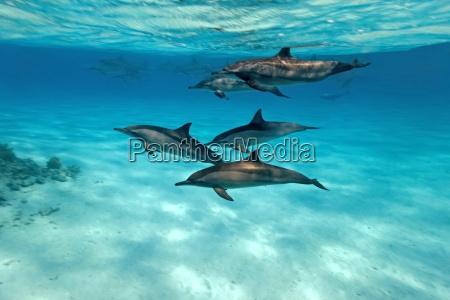 golfinho subaquatico garrafa mergulho baleias comum