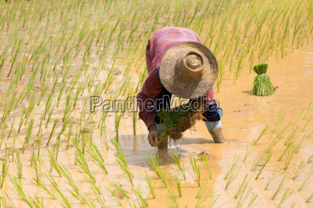 plante asien landbrug nytteplante mark rismarker