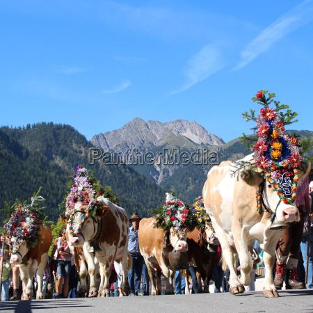 montanhas austria vacas agua salgada mar