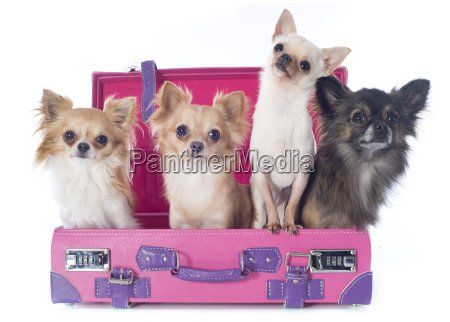 chihuahuas, in, suitcase - 10007214