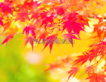 folhas de bordo amarelas e vermelhas