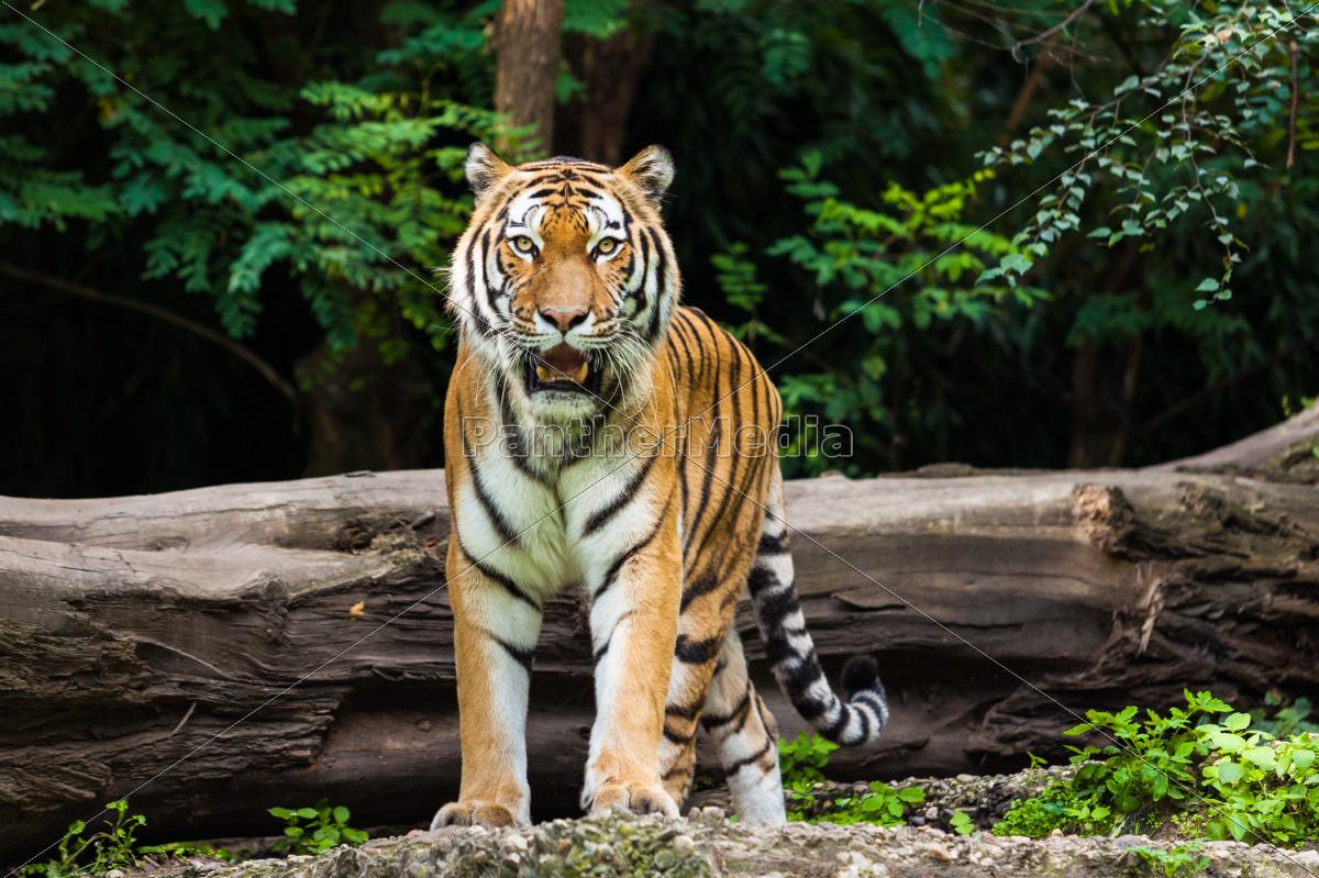 tigre - 10072882