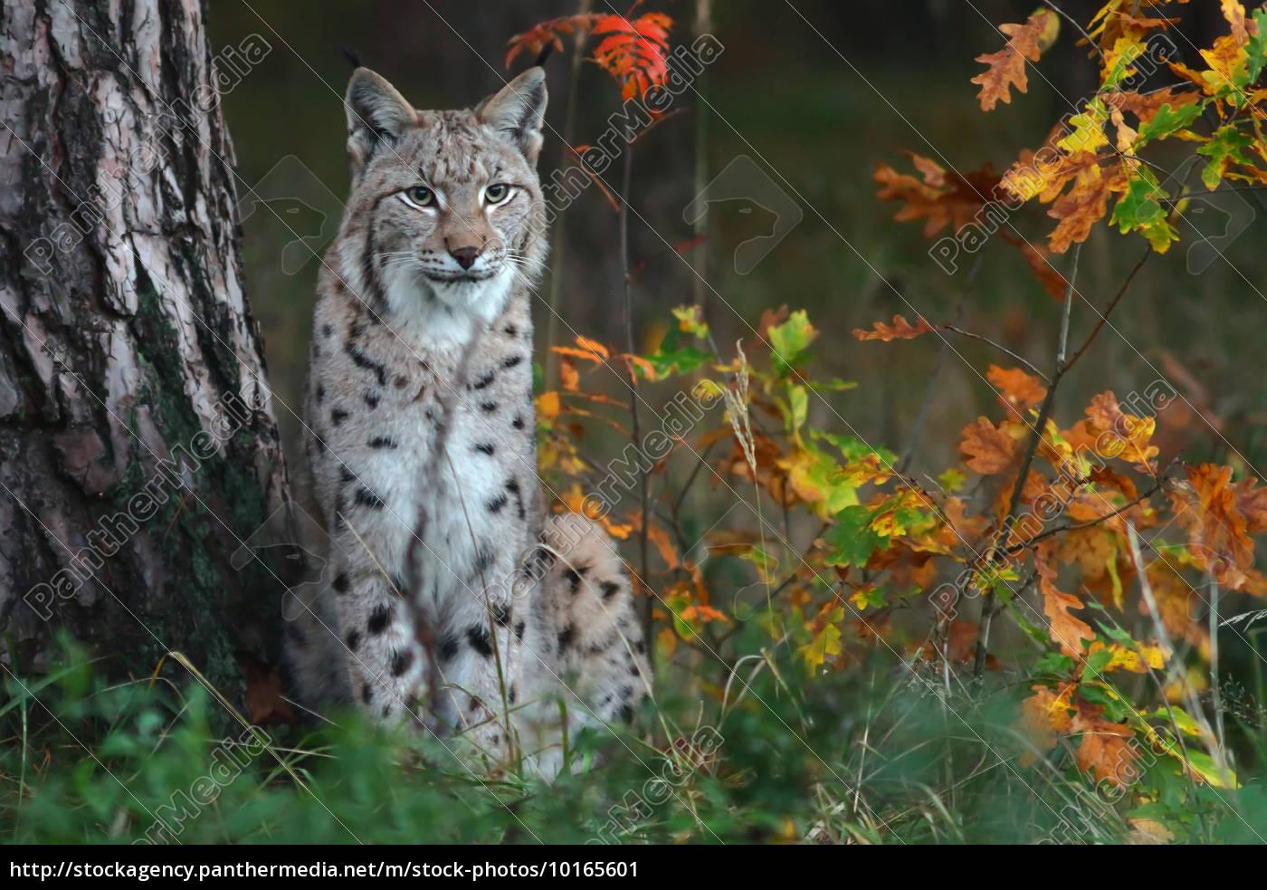 o, lynx, - 10165601