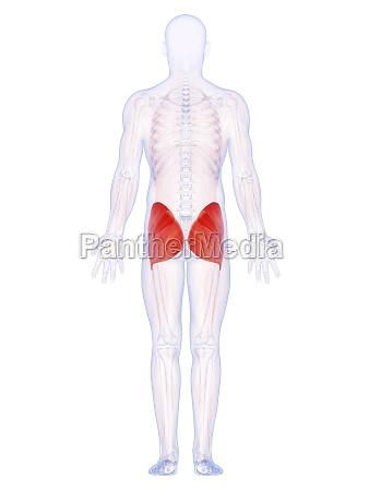 3d rendeu a ilustracao dos musculos