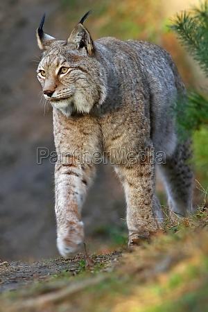 animal gatos gato lince ressaca