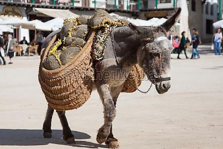 burro que lleva un girasol en