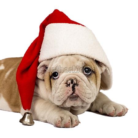 filhote de cachorro de santa