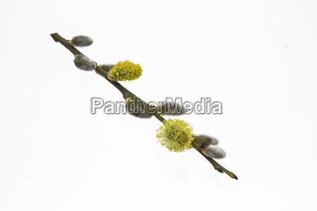 liberado ramo candeias aveludado