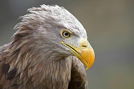 ave aguia do mar de rapina