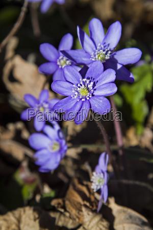 azul roxo violeta primavera de flores