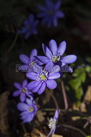 flor do figado