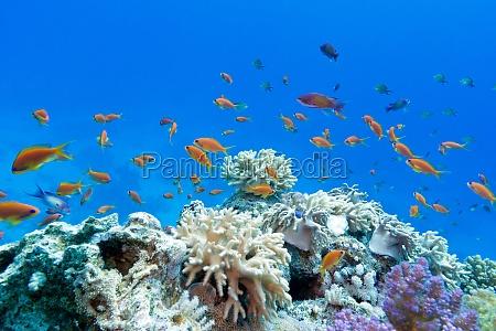 recife coral com os corais macios