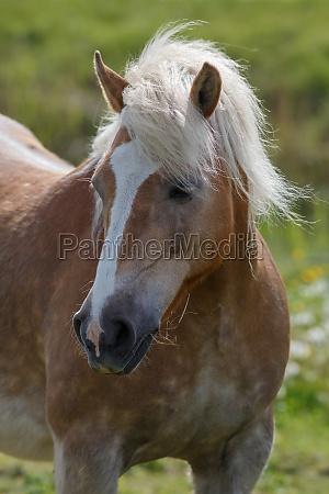 cavalo animais retrato ponei mais haflinger