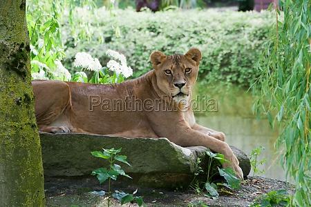 feminino animal marrom selvagem africa savana
