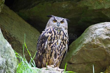 pedra animal passaro marrom selvagem coruja