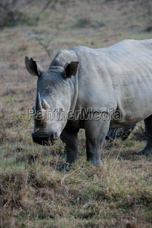 animal africa quenia chifre safari rinoceronte