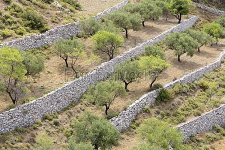 arvore grecia verao europa oliveira