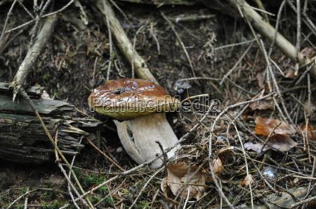 boletus mushroom boletus edulis porcini