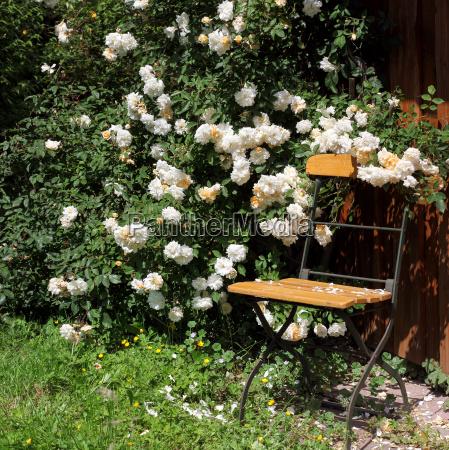 cadeira de jardim com rosas e