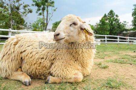 descanso dos carneiros