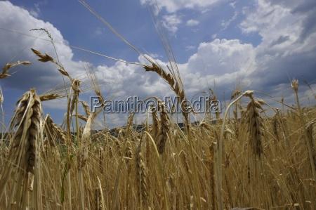 aehrehvedehvede feltkornmadfodevarerackerkulturendyreholdplanteavljord ordenlandbruglanddistrikternes okonomilandbrugplanteplanter