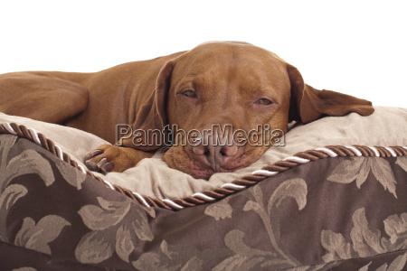 pet deitado na cama do cao